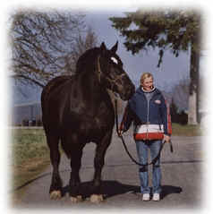 French Percheron Mare IMAGE